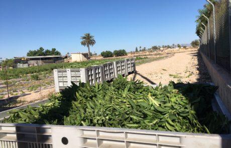 Ontwikkeling Stevia extractietechnieken