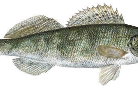 Verbetering van pootviskwaliteit door ontwikkeling van een genetisch programma voor snoekbaars
