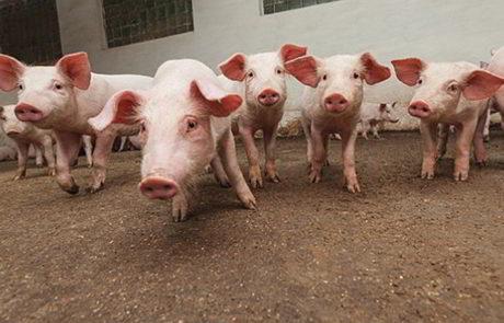 Innovatie cluster integraal duurzame varkenshouderij systeem
