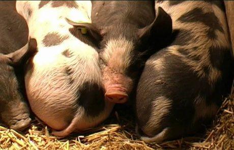 Testfaciliteit Gezonde varkensvleesketen