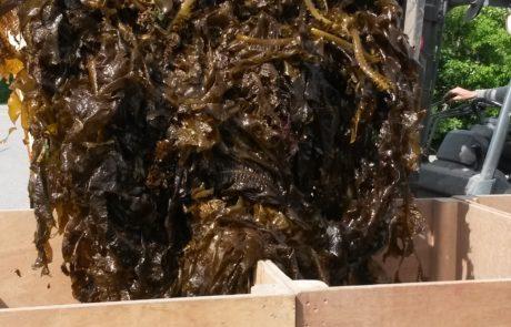 Zeewier als natuurlijke meststof en gewasbescherming
